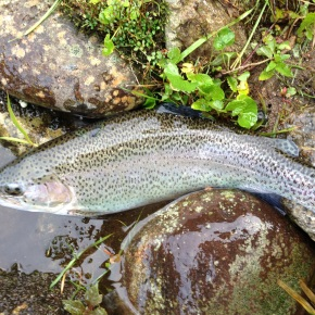 Cheating: Golf CourseTrout